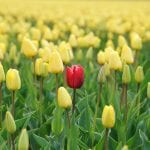 One red tulip in a field of yellows, demonstarting that authentic prospecting is about connecting to the individual